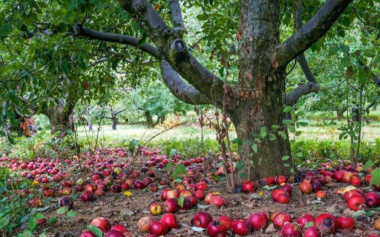 Что нельзя сажать рядом с яблоней – советы опытного дачника