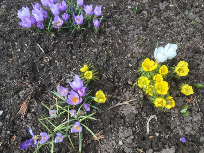 Давно (12 лет назад) я посадила ранние цветы. Последствия одной ошибки проявились отчетливо
