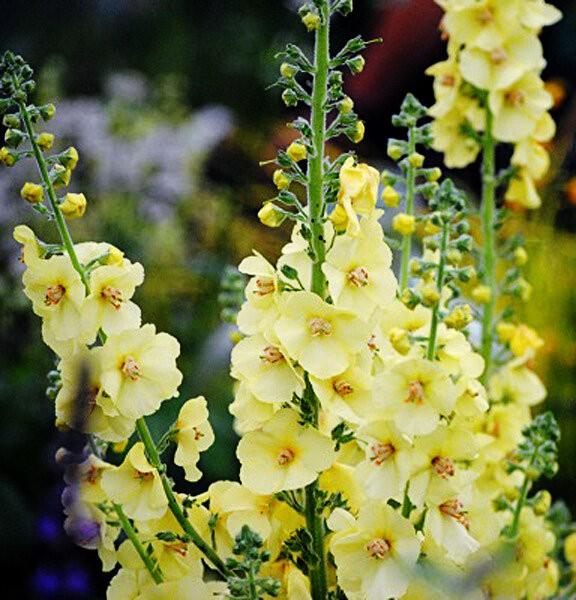 Этот цветок — необычный помощник в саду, цветнике и на грядке с клубникой и достойный соперник дельфиниуму
