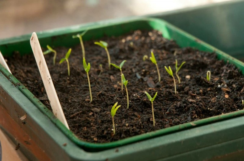 Февраль - горячая пора сеять перец на рассаду 🔔 5 пунктов успеха для дачников