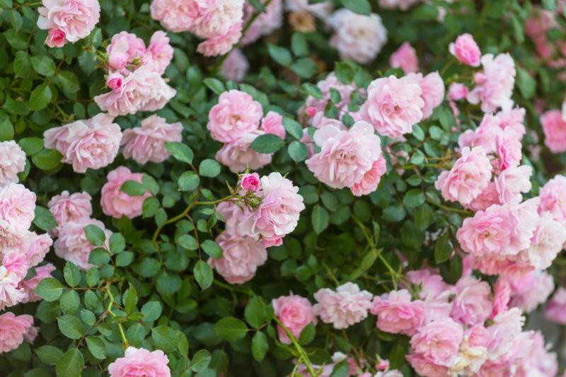 Как я делаю, чтобы розы вились по арке – тонкости ухода за цветами