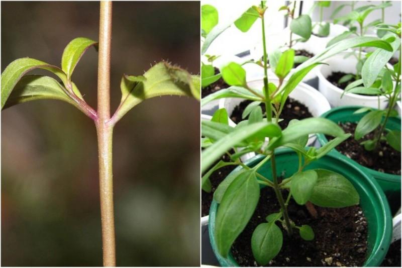 Как посадить и вырастить львиный зев из семян — все важные тонкости ухода