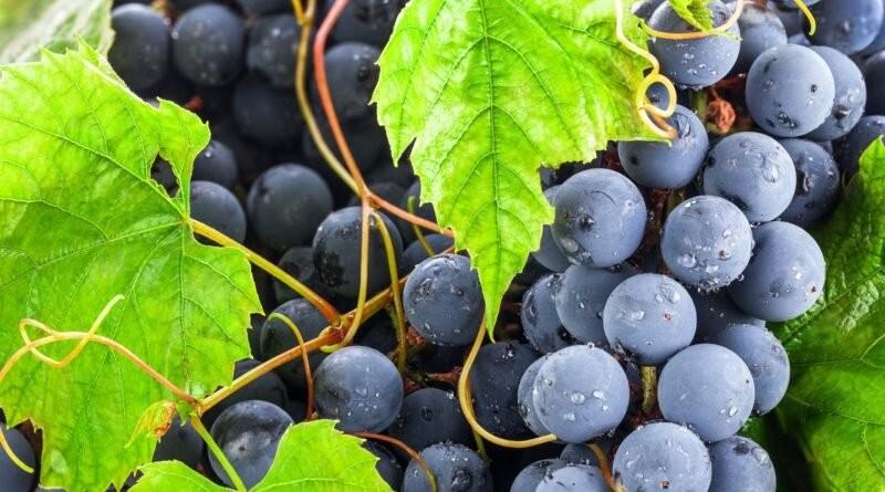Как правильно выращивать и ухаживать за виноградной лозой?