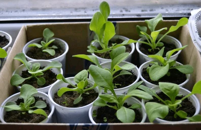 Как самостоятельно произвести рассаду ампельных петуний в феврале, чтобы они зацвели к началу лета