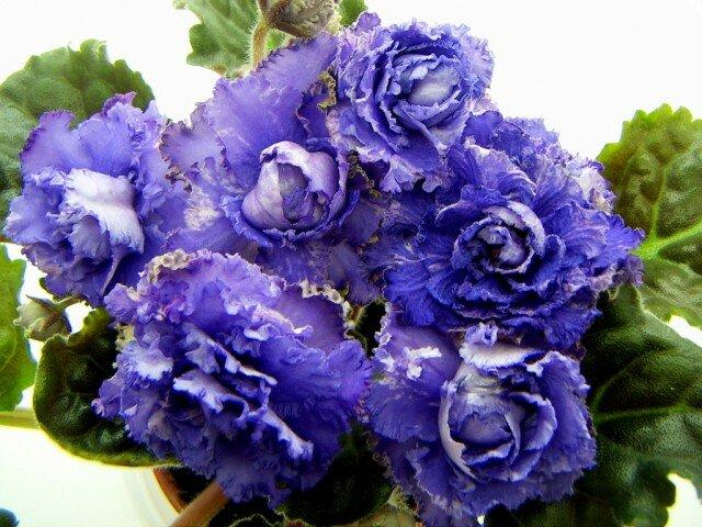 Как ухаживать за фиалкой в феврале для обильного цветения