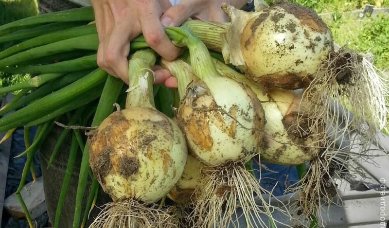 Как вырастить лук репку за один сезон: сею лук чернушку на рассаду