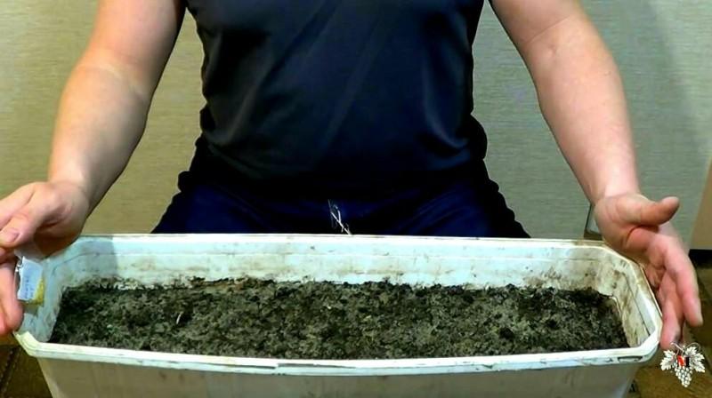 Как вырастить рассаду перца без стратификации (проращивания) семян