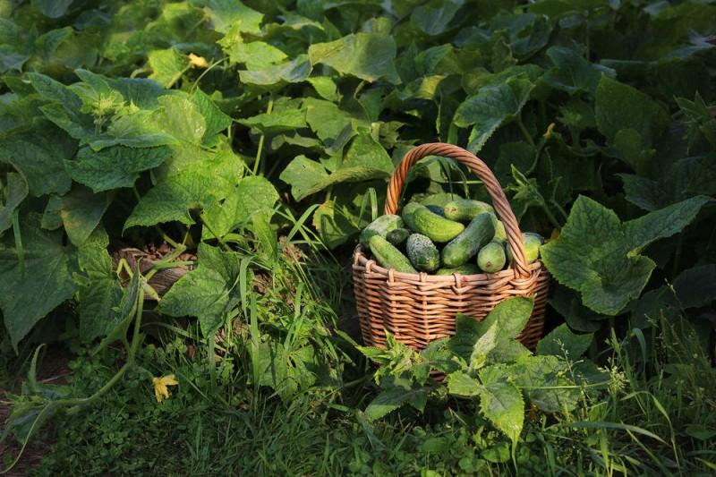 Какие огурцы мы выращиваем для своей большой семьи уже много лет