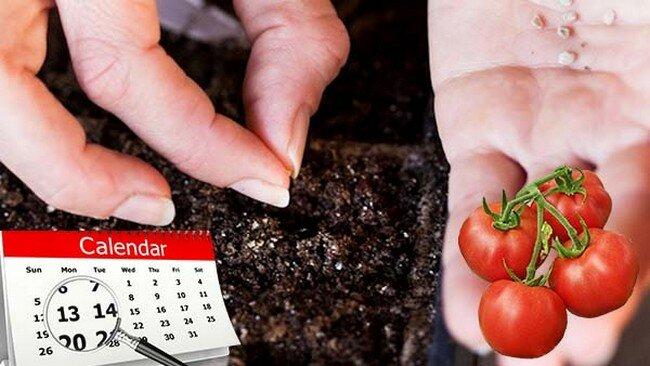 Когда посадить томаты на рассаду для выращивания в теплице?