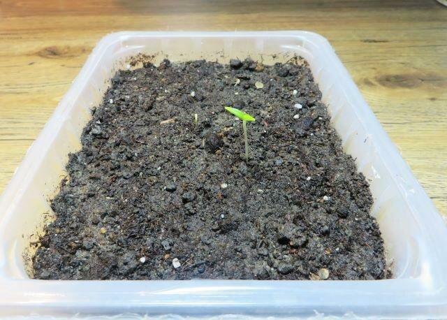 Купила болгарский перец - перец съели, а семена посадили. Рассказываю о результате опыта