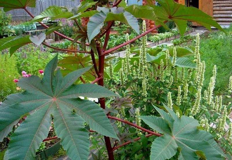 Любите Гигантские растения в Цветнике? Представляю топ 5 лучших огромных Однолетних растений специально для Вас