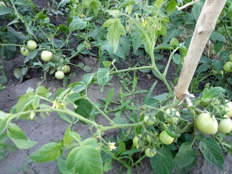 Настолько ранний томат, что высаживала рассаду с завязавшимися помидорами
