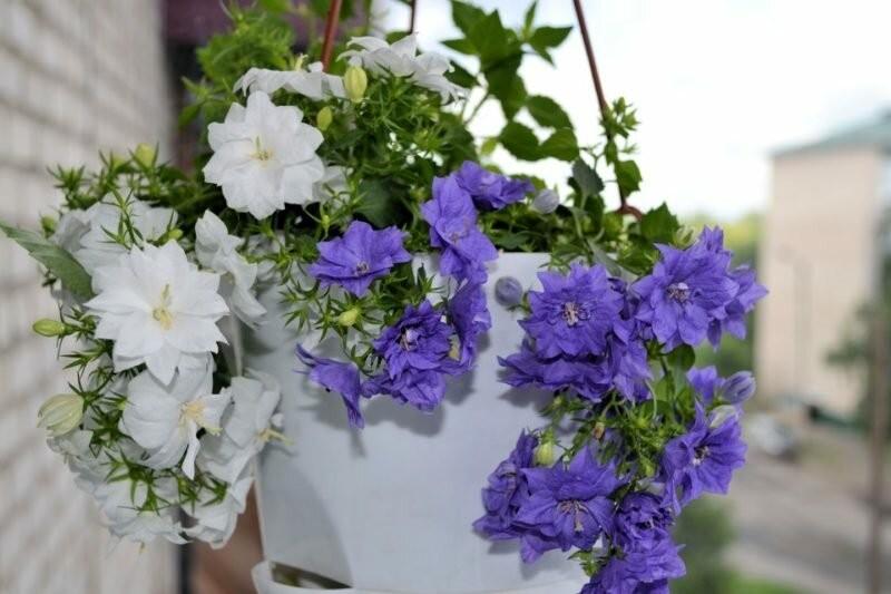 """Помните цветы """"Жених и невеста""""? Есть ещё и сорт """"Любовник"""""""