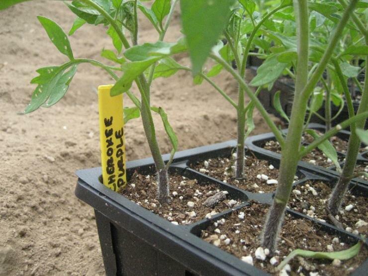 Посадка томатов в теплицу рассадой: полезные советы специалиста