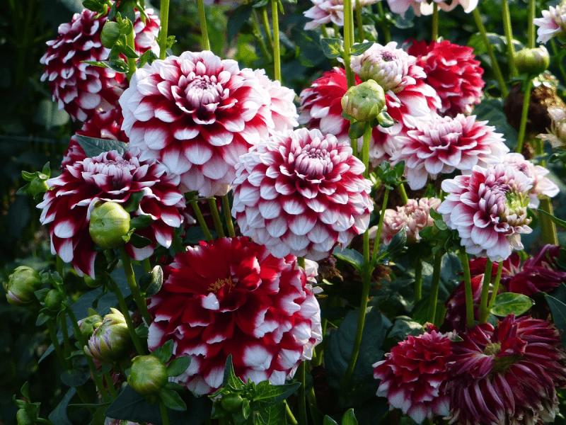 Прекрасные Георгины: посадка и выращивание в саду