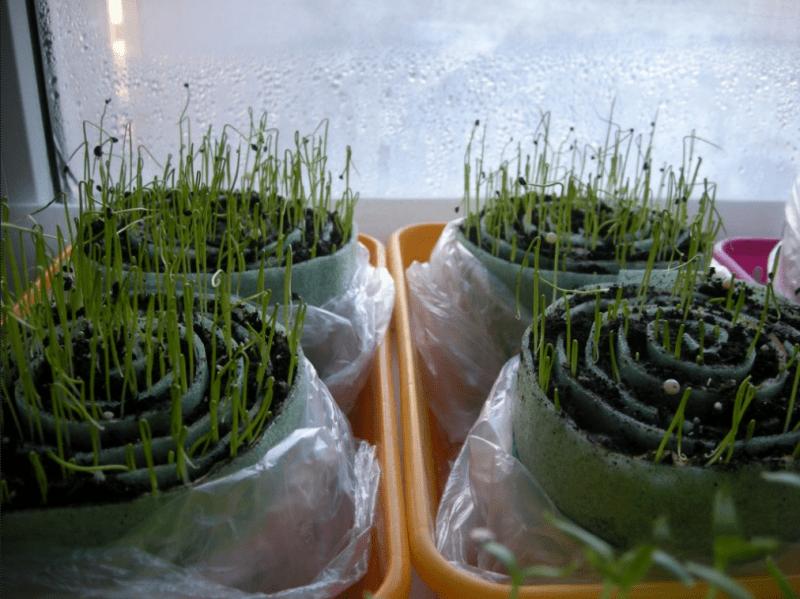 Простой способ выращивания рассады в «улитках»