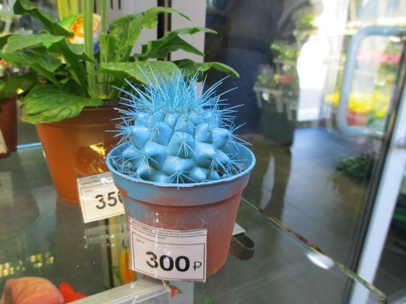 Разноцветные кактусы, не просто красота...