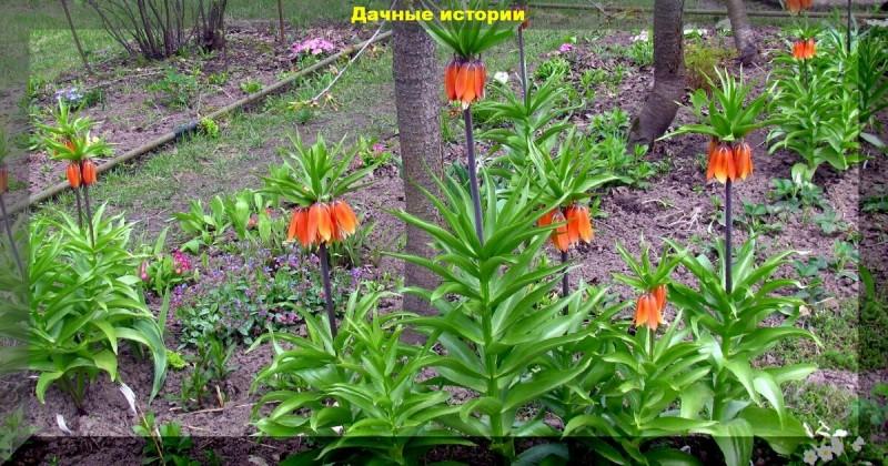 Рябчик императорский. С этим красивым цветком вы забудете о мышах и землеройках.