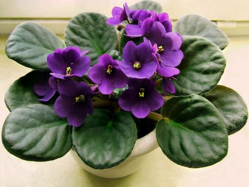 Самый популярный цветок - Фиалка, никак не Зацветет? Воспользуйтесь моими простыми Советами и наслаждайтесь шикарным Цветением