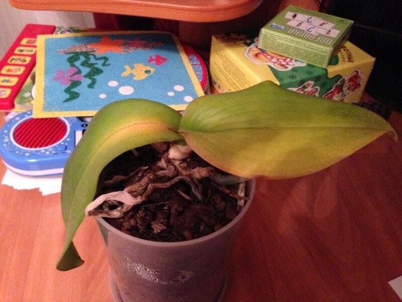 Случается так, что у Орхидеи опали почти все Листья. Расскажу как экстренно реанимировать Растение без особых хлопот