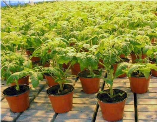 Сроки посадки помидор на рассаду в 2020 в средней полосе