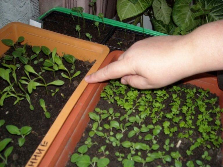 Учимся правильно выращивать рассаду Астр, чтобы летом насладиться шикарным Цветением