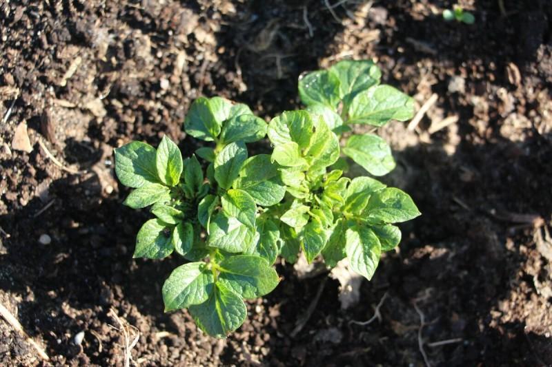 Универсальный способ определения сроков посева семян и высадки рассады помидоров, перца и баклажанов для любого региона .