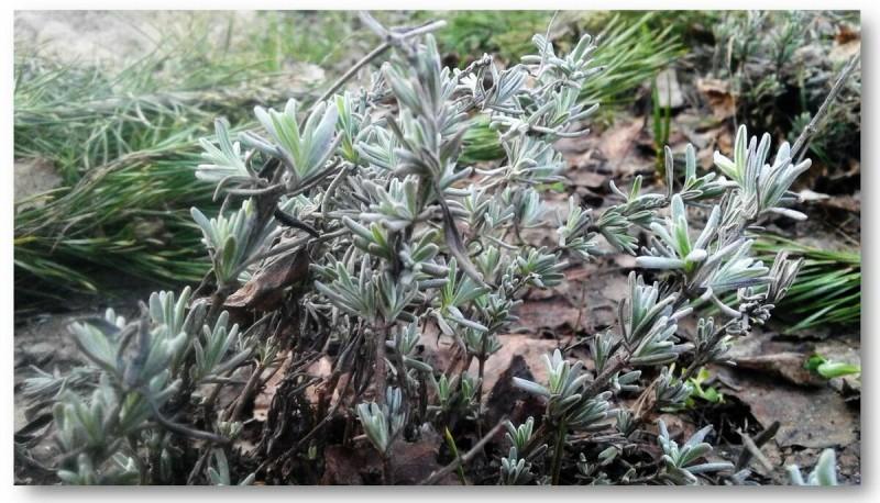 Выращиваем ароматную лаванду из семян. Слагаемые успеха