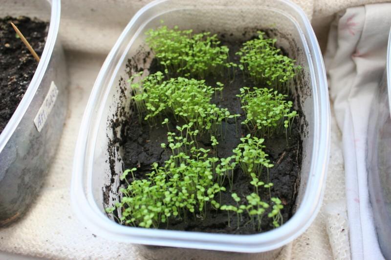 Выращивание лобелии - хитрости, проверенный способ.
