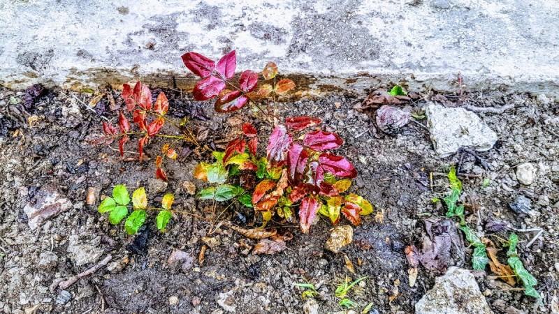 Заканчиваем наш последний цветник, посадили магонию