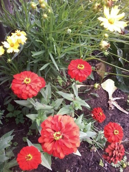 5 лучших цветов однолетников без рассады