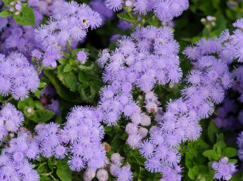 6 низкорослых цветов, которые будут цвести и украшать участок весь сезон не хуже петуний