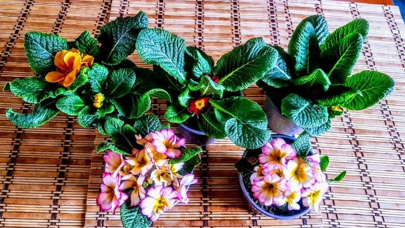 7 правил пересадки примулы, подаренной на 8 марта, чтобы она быстро разрослась и много лет радовала своим цветением