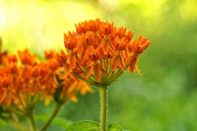 Бывший сорняк, ставший украшением и изюминкой садов. Как вырастить