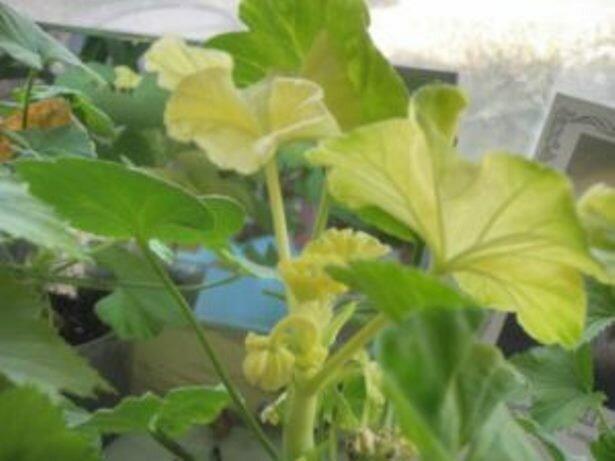 Что делать, если у герани сохнут и желтеют листья?