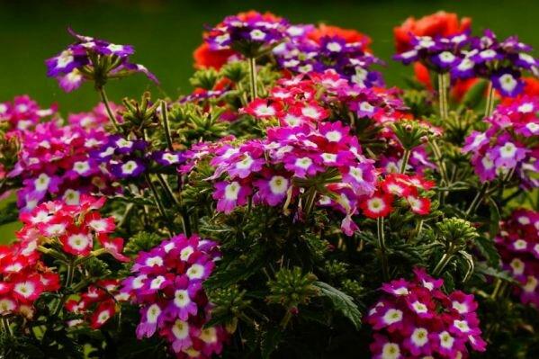 Цветы, которые сеют на рассаду в марте — часть 3
