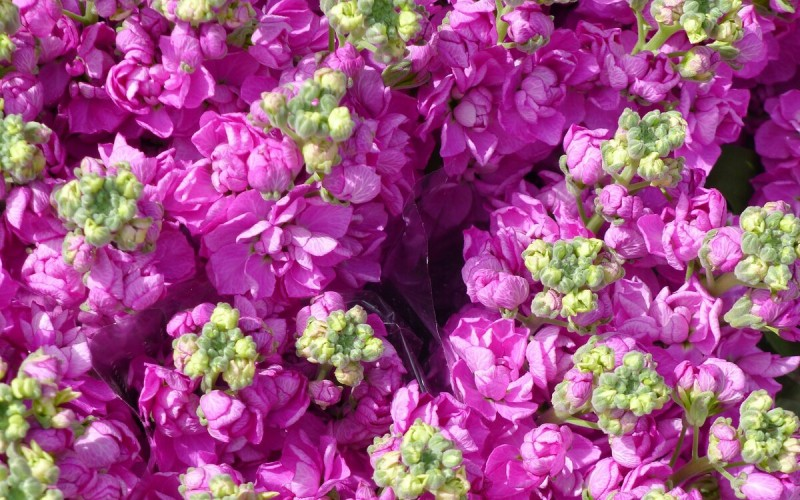 Цветы, которые уже можно посеять в марте. Часть 2.