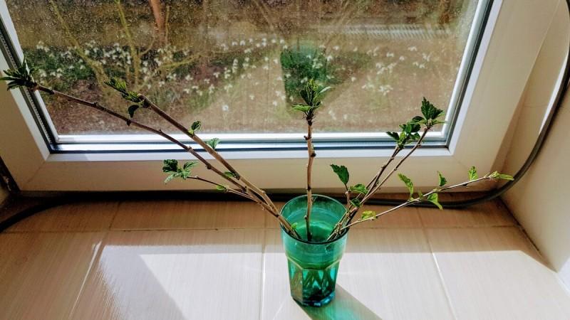 Достойная замена капризной розы в саду - роскошный нетребовательный гибискус