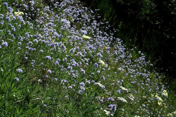 Гилия головчатая – голубые облака в саду.