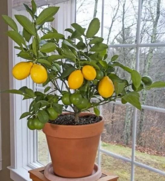 Как из семечки вырастить чудо у себя дома - Лимонное дерево? И даже собирать с него плоды!🍋