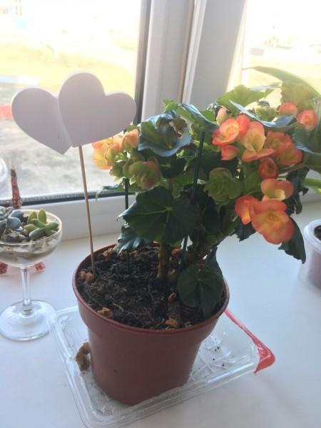 Как изменились цветы с уценки за две недели? Бегония, роза, бромелия.