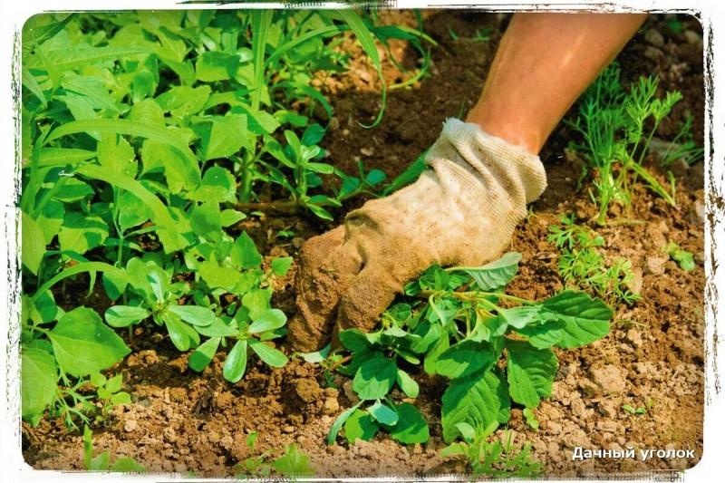 Как я избавил свой огород от одуванчиков - полезный совет для дачников