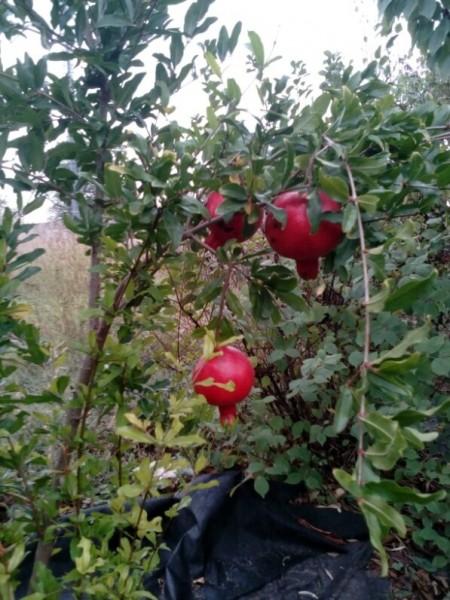 Как я вырастила гранат в своем саду