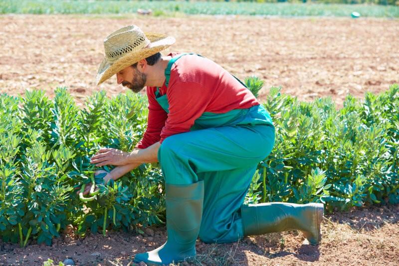 Как правильно собирать семена фасоли?