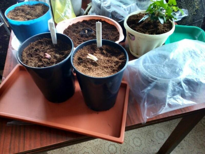 Как сохранить луковицы лилий с ростками до высадки