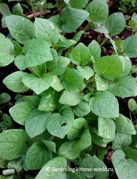Как вырастить физалис? 10 удивительных фактов + посадка, выращивание и рецепт вкусного варенья