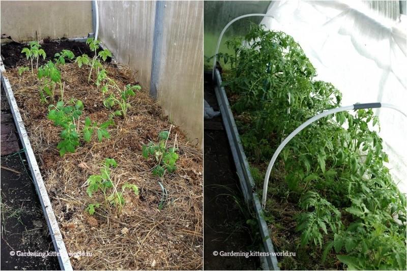 Как вырастить томаты — 3 секрета, дающие двойной урожай при минимальном уходе