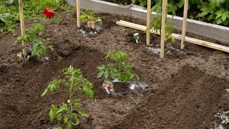 Как высадить рассаду томатов в открытый грунт: секреты садоводов