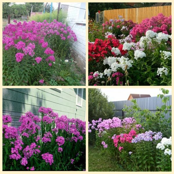 Какие цветы лучше всего сажать у забора и стены дома