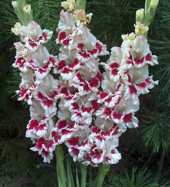 Когда и как будить луковицы гладиолуса ✅ За 5 лет я научилась добиваться раннего цветения